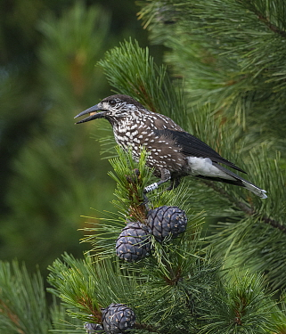 Nutcracker (Nucifraga caryocatactes) feeding on Pine nuts, perched in Arolla pine (Pinus cembra) tree. Jyvaskyla, Central Finland. July.