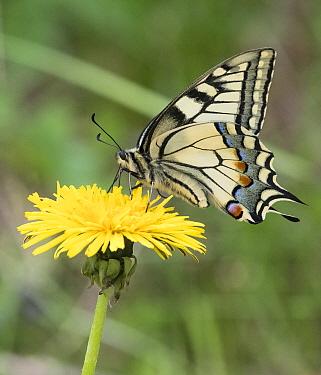 Swallowtail (Papilio machaon) butterfly nectaring on Dandelion (Taraxacum officinale). Jyvaskyla, Central Finland. June.