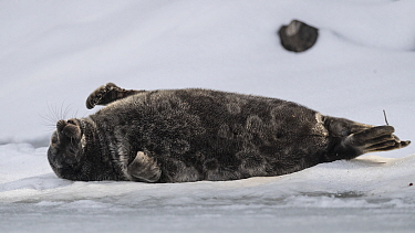 Saimaa ringed seal (Pusa hispida saimensis) sleeping on ice, one of around 410 individuals of this endemic species remaining. Lake Saimaa, Finland. May 2019.