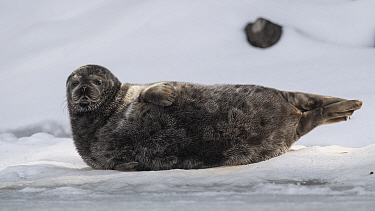 Saimaa ringed seal (Pusa hispida saimensis) hauled out on ice, one of around 410 individuals of this endemic species remaining. Lake Saimaa, Finland. May 2019.