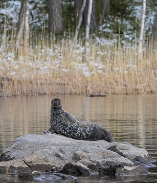 Saimaa ringed seal (Pusa hispida saimensis) hauled out on rock, one of around 410 individuals of this endemic species remaining. Lake Saimaa, Finland. May 2019.