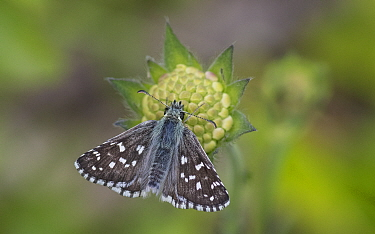 Large grizzled skipper (Pyrgus alveus) butterfly, male on Scabious flower. Kitee, North Karelia, Finland. July.