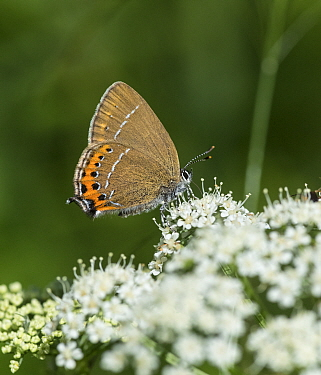 Black hairstreak (Satyrium pruni) butterfly nectaring. Jyvaskyla, Central Finland. June.