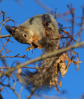 Red squirrel (Sciurus vulgaris) feeding on Maple (Acer sp) seeds in tree. Jyvaskyla, Central Finland. November.