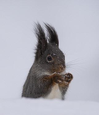 Red squirrel (Sciurus vulgaris) in snow with winter pelage, portrait. Kuusamo, Northern Ostrobothnia, Finland. February.