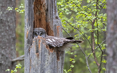 Great grey owl (Strix nebulosa) female on nest in tree snag. Suomussalmi, Kainuu, Finland. June.