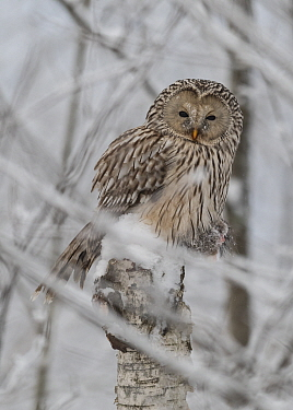 Ural owl (Strix uralensis) perched on tree snag having caught a Red squirrel, in snow. Jyvaskyla, Central Finland. January.