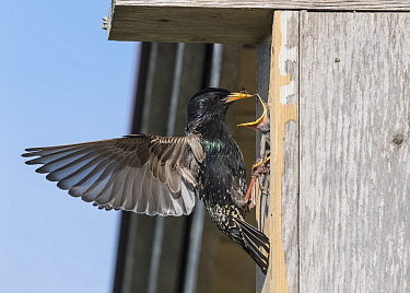 European starling (Sturnus vulgaris) feeding Insect to chick in bird box. Pargas, Aboland, Finland. May.