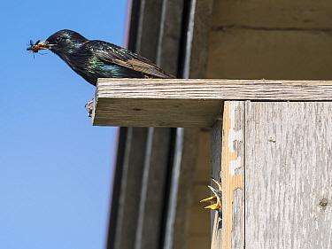 European starling (Sturnus vulgaris) with Insect prey in beak, chicks begging in bird box. Pargas, Aboland, Finland. May.