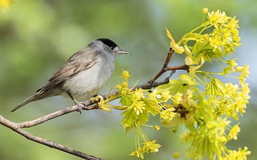 Blackcap (Sylvia atricapilla) male perched on branch amongst blossom. Pargas, Aboland, Finland. May.