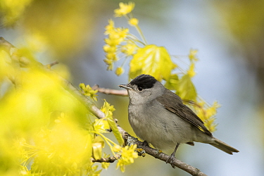 Blackcap (Sylvia atricapilla) male perched in tree amongst blossom. Pargas, Aboland, Finland. May.