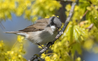 Lesser whitethroat (Sylvia curruca) feeding on Hoverfly (Syrphidae), perched on branch. Pargas, Aboland, Finland. May.