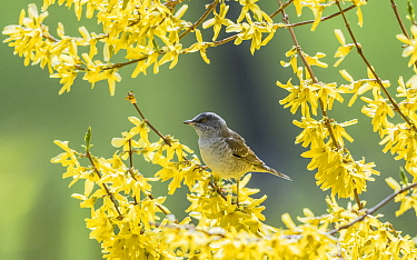 Barred warbler (Sylvia nisoria) male perched in tree, surrounded by yellow flowers. Pargas, Aboland, Finland. May.