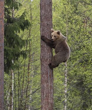 Brown bear (Ursus arctos) cub climbing tree. Martinselkonen, Kainuu, Finland. May.