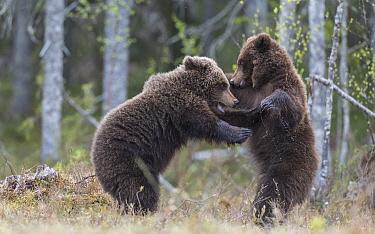 Brown bear (Ursus arctos), two cubs play fighting, standing on hind legs. Martinselkonen, Kainuu, Finland. June.