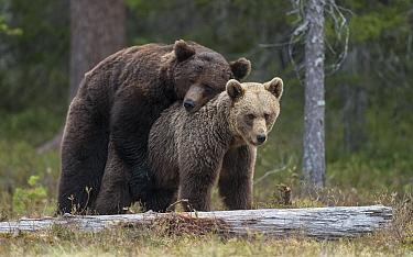 Brown bear (Ursus arctos) pair mating. Martinselkonen, Kainuu, Finland. June.