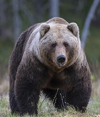 Brown bear (Ursus arctos) male, portrait. Martinselkonen, Kainuu, Finland. June.