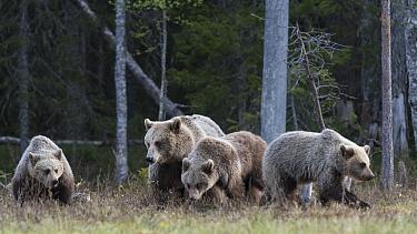 Brown bear (Ursus arctos) female and cubs at woodland edge. Martinselkonen, Kainuu, Finland. June.