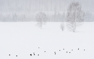 Lapwing (Vanellus vanellus) flock in snow, forest in background. Laukaa, Central Finland. April 2019.