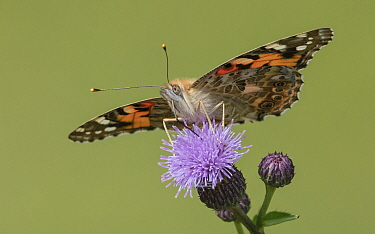 Painted lady (Vanessa cardui) butterfly nectaring on Thistle flower. Jyvaskyla, Central Finland. August.
