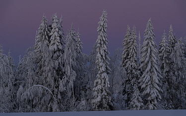 Snow covered forest in evening. Central Finland. January 2019.