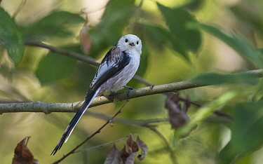 Long-tailed tit (Aegithalos caudatus caudatus) perched on branch. Jyvaskyla, Central Finland. August.