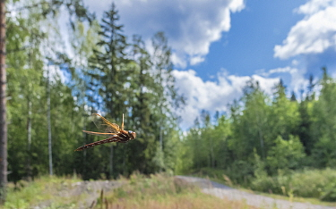 Brown hawker dragonfly (Aeshna grandis) flying through forest near a track. Jyvaskyla, Central Finland. July.