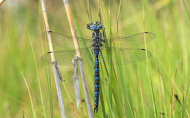 Baltic hawker dragonfly (Aeshna serrata) male. Helsinki, Finland. August.