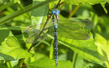 Green hawker dragonfly (Aeshna viridis) male. Li, Northern Ostrobothnia, Finland. August.