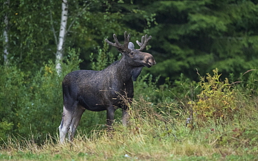 Elk / Moose (Alces alces) male standing at edge of forest. Puuppola, Jyvaskyla, Finland. August.