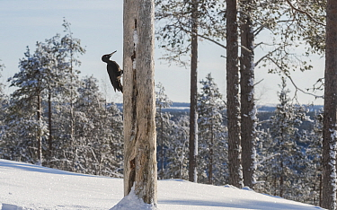 Black woodpecker (Dryocopus martius) male feeding on tree trunk in snow covered forest. Finland. February 2020.