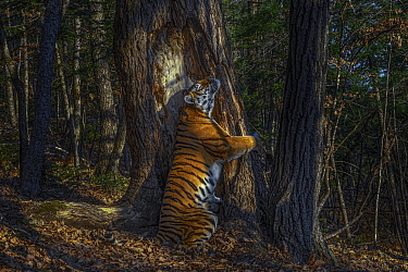 Siberian tiger (Panthera tigris altaica) female territorial marking by rubbing cheek against ancient Manchurian fir tree, Land of the Leopard National Park, Far East Russia, November. Taken with remot...