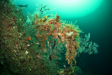 Butterfly perch (Caesioperca lepidoptera), snake star (Astrobrachion constrictum) and Fiordland black coral (Antipathella fiordensis) and New Zealand fur seal (Arctocephalus forsteri) in Dusky Sound,...