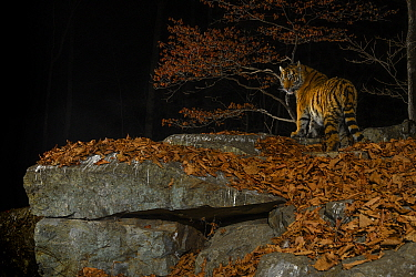 Siberian tiger (Panthera tigris altaica) at night, taken with remote camera in Land of the Leopard National Park, Far East Russia, November.Highly Commended in the Animal Portraits Category of the Wil...