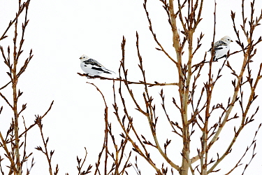 Snow buntings (Plectrophenax nivalis) resting in a tree in Tromso, Northern Norway.