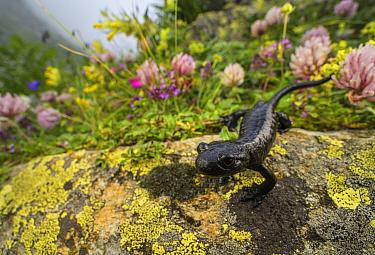Lanza's salamander (Salamandra lanzai), endemic to Cottian Alps, Monviso massif, Italy.