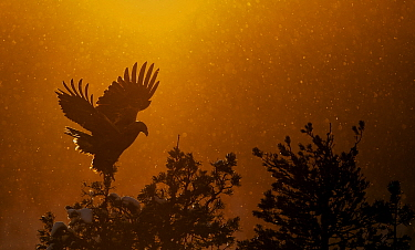 Golden Eagle adult (Aquila chrysaetos) silhouetted in tree after sunset, Kuusamo, Finland, January.