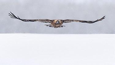 Golden Eagle adult (Aquila chrysaetos) flying, Kuusamo, Finland February.
