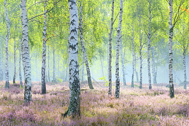 Birch trees (Betula sp) growing amongst heather (Calluna vulgaris), Reicherskreuzer Heide, Germany.