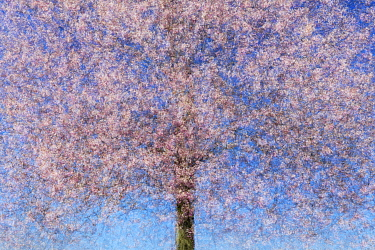 Multiple exposure of a cherry tree (Prunus sp) in blossom. Potsdam, Germany. April. Created using 10 exposures.