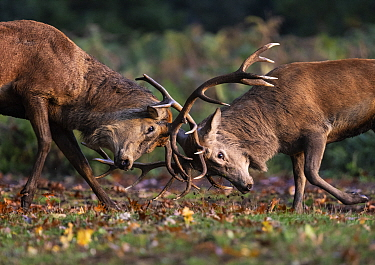 Red Deer (Cervus elaphus) stags figting during the rutting season. Bushy Park, London, UK. October.