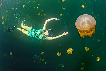 Snorkeller swimming with Stingless golden jellyfish (Mastigias sp.) in a landlocked marine lake in the middle of an island. Farondi Islands, Misool, Raja Ampat, West Papua, Indonesia. Tropical West Pa...