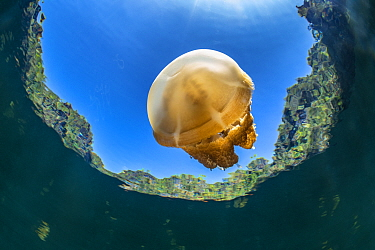 Stingless golden jellyfish (Mastigias sp.) in a landlocked marine lake in the middle of an island. Farondi Islands, Misool, Raja Ampat, West Papua, Indonesia. Tropical West Pacific Ocean.