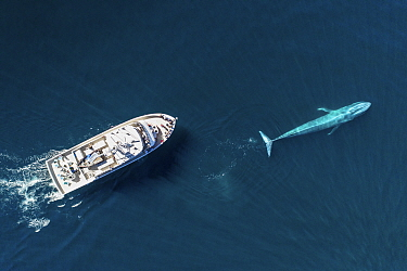 Blue whale (Balaenoptera musculus) followed by whale watching boat, aerial view. Baja California, Mexico. February 2020.