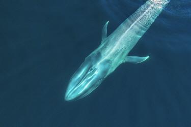 Blue whale (Balaenoptera musculus), aerial view. Baja California, Mexico. February.