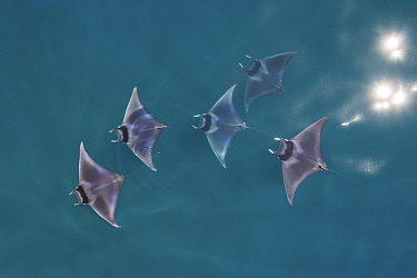 Spinetail devil ray (Mobula mobular), five with reflections of sun on water, aerial view. Sea of Cortez, Baja California, Mexico. March.