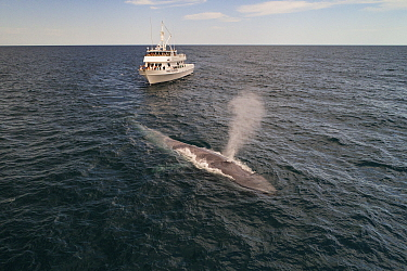 Blue whale (Balaenoptera musculus) spouting, whale watching boat in background. Baja California, Mexico. April 2019.
