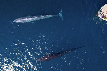 Blue whale (Balaenoptera musculus) and Fin whale (Balaenoptera physalus) travelling together, tourists in whale watching boat, aerial view. Baja California, Mexico. March 2019.