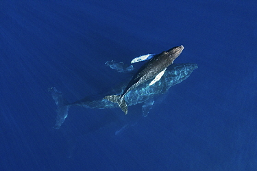 Humpback whale (Megaptera novaeangliae) calf at surface with mother below, aerial view. Baja California, Mexico. March.