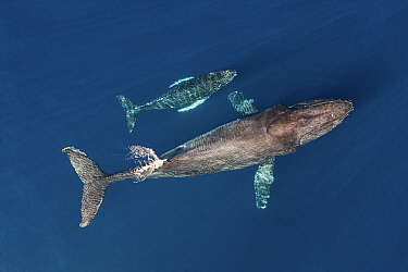 Humpback whale (Megaptera novaeangliae) female and calf swimming side by side, aerial view. Baja California, Mexico. March.